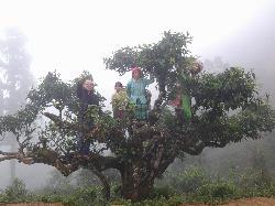 Vùng nguyên liệu - Chè Shan Tuyết